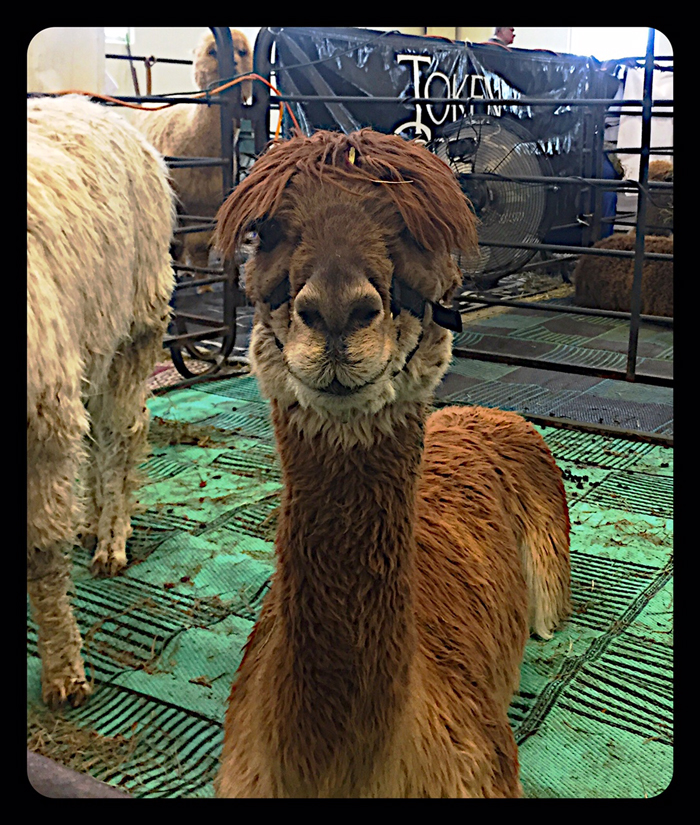 Alpaca with Bangs
